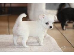 Linnie, chien Chihuahua