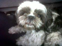 Lino, chien Shih Tzu