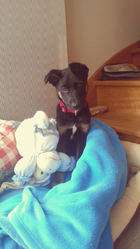Lino, chien Berger belge