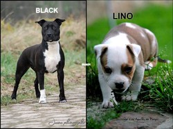 Lino, chien American Staffordshire Terrier