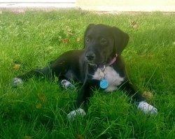 Linotte, chien Labrador Retriever