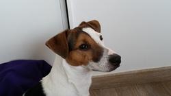 Linouk, chien Jack Russell Terrier