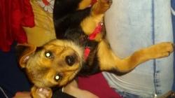 Lina, chien Chihuahua