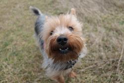 Linus, chien Yorkshire Terrier