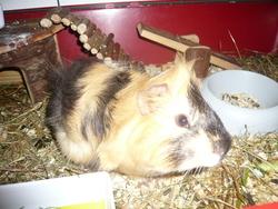 Linus, rongeur Cochon d'Inde