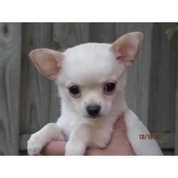 Linz, chien Chihuahua