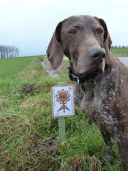 Lio, chien Braque allemand à poil court