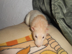 Lionel, rongeur Rat