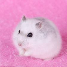 Liova, rongeur Hamster