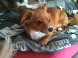 Lipou, chien Chihuahua