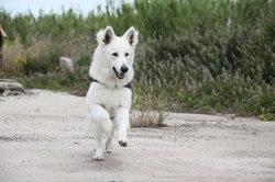 Lipton, chien Berger blanc suisse