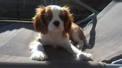 Lipton, chien Cavalier King Charles Spaniel