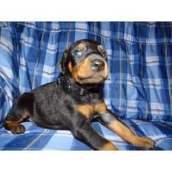 Lisa, chien Dobermann