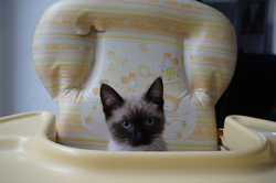 Lisa, chat Birman