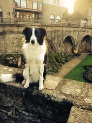 Lisa, chien Border Collie