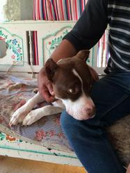 Lisa, chien American Staffordshire Terrier