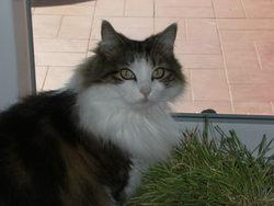 Lisa, chat Européen