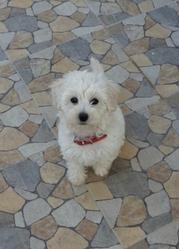 Lisa, chien Bichon maltais
