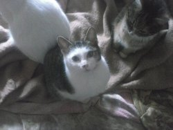 Lissana, chat Gouttière
