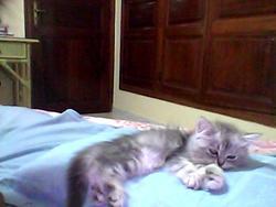 Litcha , chat Persan