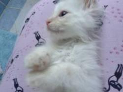 Litchi, chat Angora turc