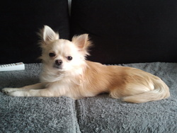 Litchi, chien Chihuahua