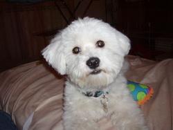 Litchi, chien Bichon maltais