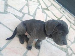 Lewis, chien Cane Corso