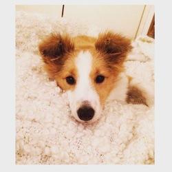 Litchi, chien Berger des Shetland