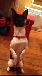 Litchie, chien Chihuahua