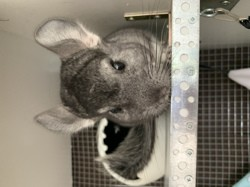 Litchy, rongeur Chinchilla