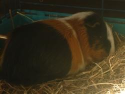 Litchy   Decédé, rongeur Cochon d'Inde