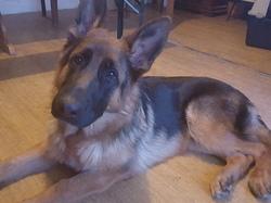 Lithos, chien Berger allemand