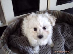 Litsy, chien Bichon à poil frisé
