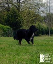 Little, chien Berger australien