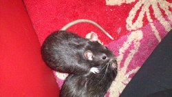Little, rongeur Rat