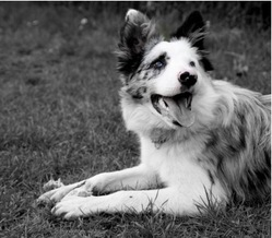 Little, chien Border Collie