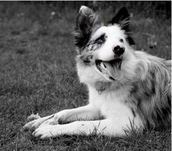 Little, chien Border Collie