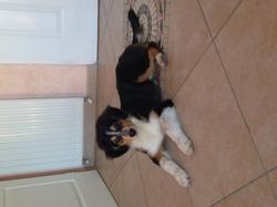 Litz, chien Berger australien