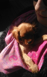 Litzie, chien Cavalier King Charles Spaniel