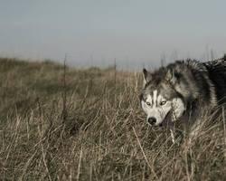 Liubov'S Hitomi, chien Husky sibérien