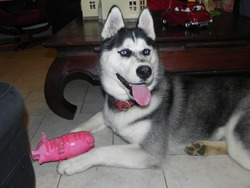 Liubov'S Izzaro, chien Husky sibérien