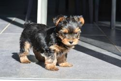 Livio, chien Yorkshire Terrier