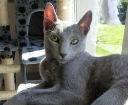 Lixi, chat Bleu russe