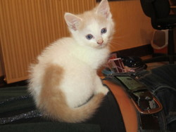 Lixi, chat Turkish Van
