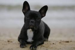 Lixy, chien Bouledogue français