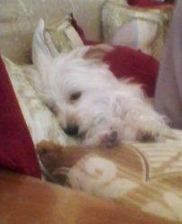 Liza, chien Bichon maltais