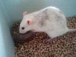 Liza Dcd, rongeur Rat