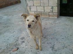 Liza, chien Golden Retriever