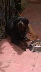 Liza, chien Rottweiler